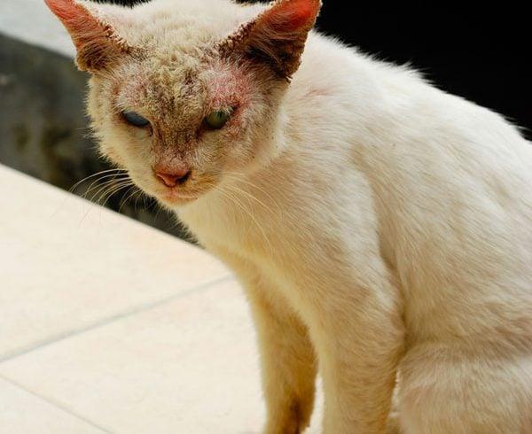 Bệnh nấm ở mèo là căn bệnh khá phổ biến