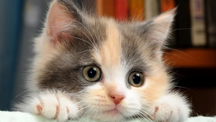 Bệnh ghẻ ở mèo