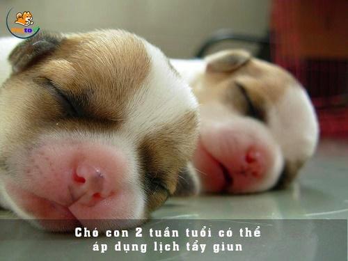 Tẩy giun cho chó con là bước đầu tiên trong quá trình tẩy lâu dài cho chúng.