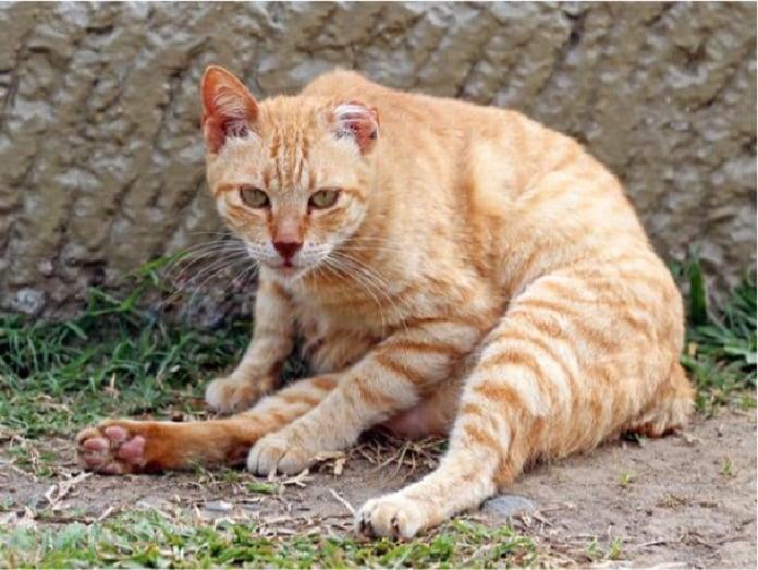 Dấu hiệu thường bắt đầu bệnh ghẻ ở mèo