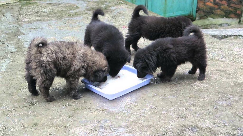 hình ảnh chú chó Bắc Hà con  đang ăn