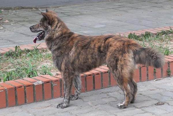 Phần mõm chó Băc Hà khá dài và gây ấn tượng