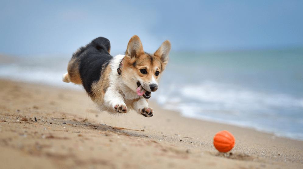Chú chó corgi siêu đáng yêu đang vui đùa trên bãi biển