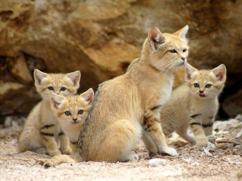 Mèo cát ả rập có bộ lông siêu mượt