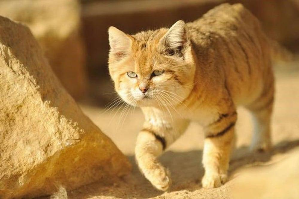 Rất khó để có thể chụp được những bức ảnh về giống mèo sa mạc này