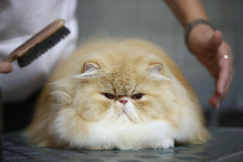 Thân hình mập ú siêu đáng ghét của mèo ba tư lông ngắn