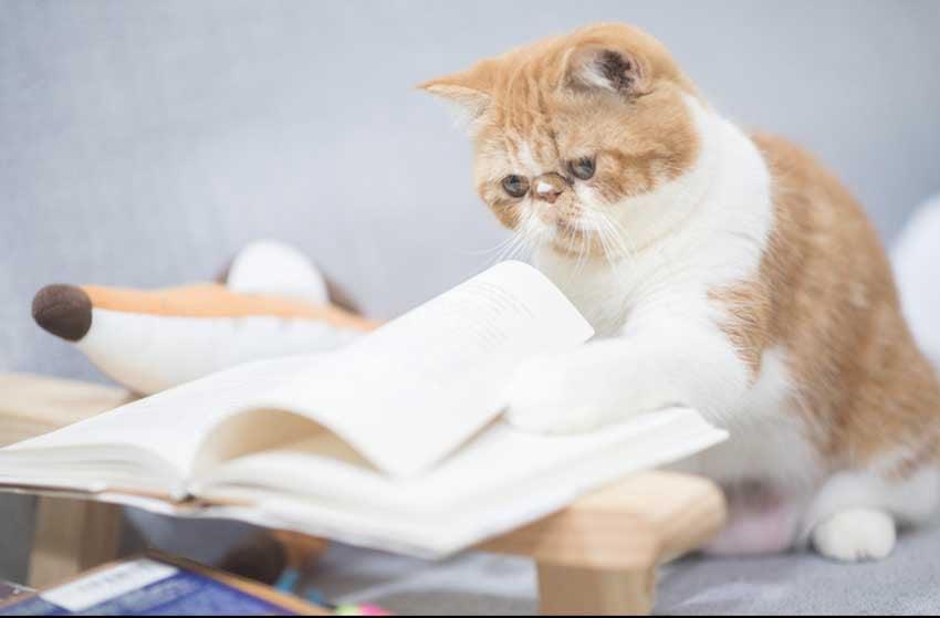 Đây là chú mèo ba tư lông ngắn thông minh và rất hiền lành