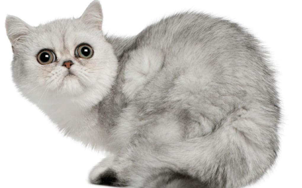 Đôi đồng tử đẹp của mèo exotic với những màu sắc khác biệt