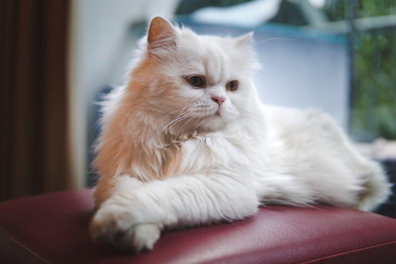 Chú mèo exotic khá đáng yêu và ngộ nghĩnh