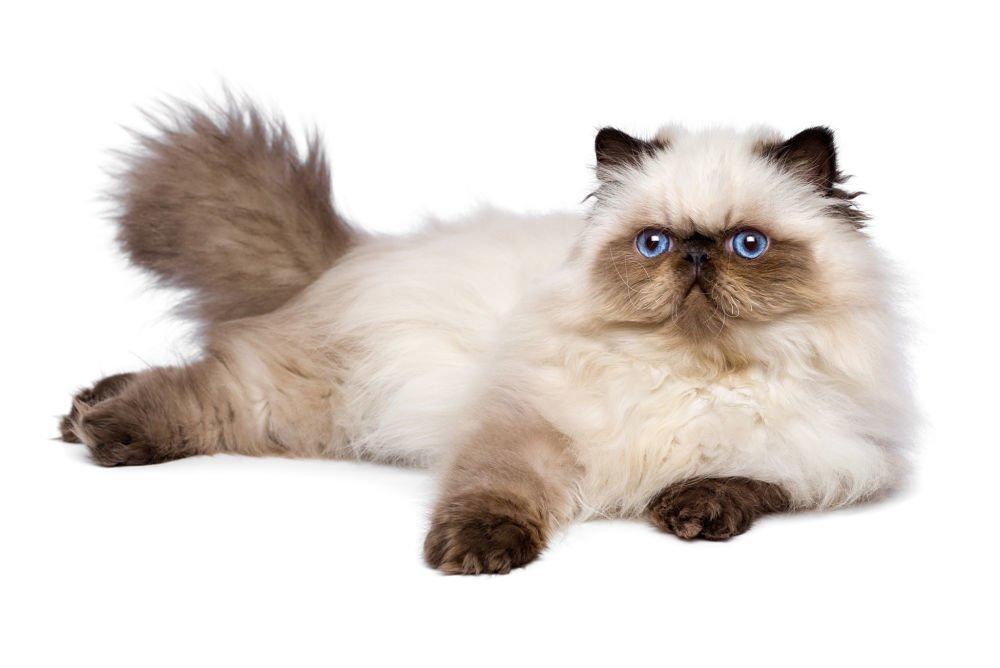 Mèo ba tư himalaya có bộ lông dày và mượt