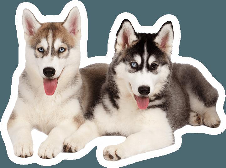 Chó husky  có nguồn gốc từ vùng Đông Bắc Sibir, Nga