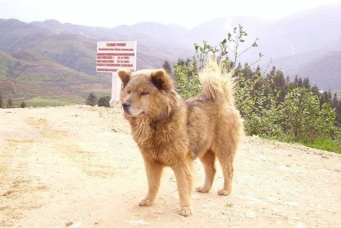Chó bắc hà - tứ đại quốc khuyển của Việt Nam
