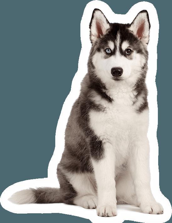 Một chú chó husky với 2 màu mắt tuyệt đẹp