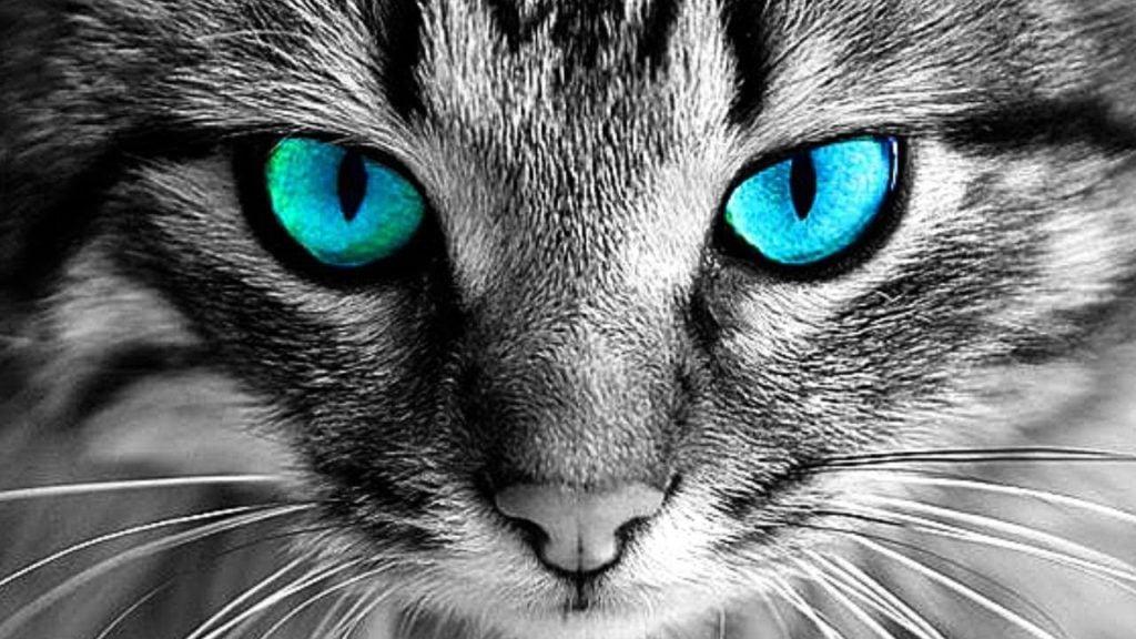Mèo có đôi mắt mèo xanh dương