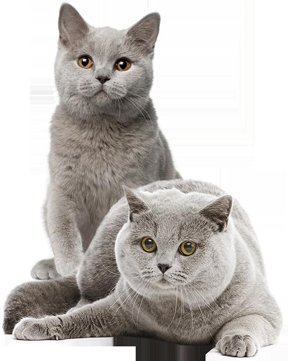 Mèo aln màu xám xanh