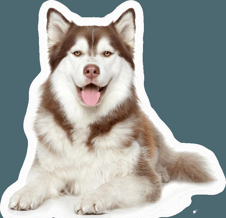 Khuôn mặt đáng yêu của chó husky