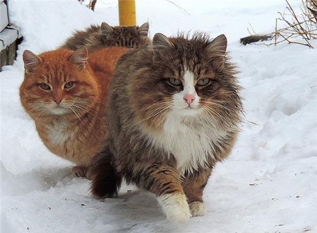 Đầu của giống mèo Siberian khá tròn, vùng lông từ phần cổ trở xuống mọc theo hình tròn trông như 1 chiếc bờm sư tử thu nhỏ.