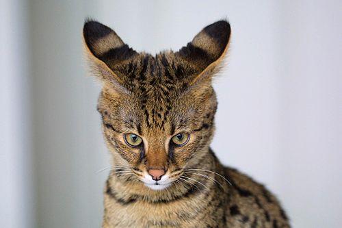 Có chiếc đầu nhỏ dạng hình tam giác đều, khuôn mặt đầy với chiếc mũi và mõm lớn, cặp mắt khá nhỏ, đôi tai dài rộng và chóp tai tròn trịa đặt cao trên đầu