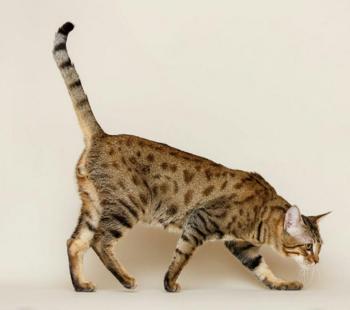 Mèo Savannah vô cùng khỏe mạnh và dễ dàng chăm sóc