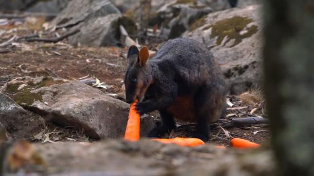 Chuột túi núi Wallaby bị thiếu thức ăn sau thảm họa cháy rừng ở Úc.
