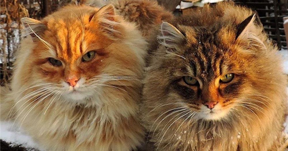 Mèo Siberian mua ở đâu? Và có giá bao nhiêu?