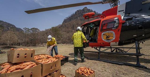 Thả hàng ngàn kg khoai lang và cà rốt từ trên cao xuống để cứu đói cho động vật hoang dã gặp nạn trong cháy rừng ở Úc