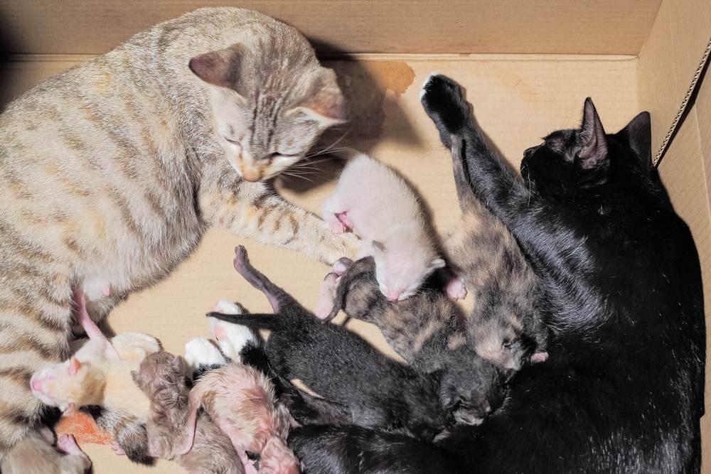 Bạn sẵn sàng đỡ đẻ cho bé mèo của mình chưa?