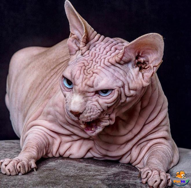 """Vẻ ngoài """"khó ở"""" của mèo thuộc dòng Sphynx"""