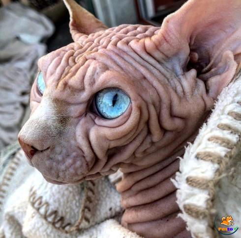 Làn da nhăn nheo hiếm có của mèo khiến cư dân mạng liên tưởng đến não người