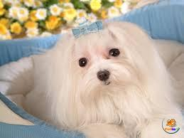 Cách chăm sóc chó Maltese